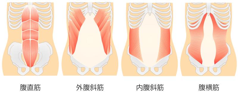 腹部の筋肉の絵