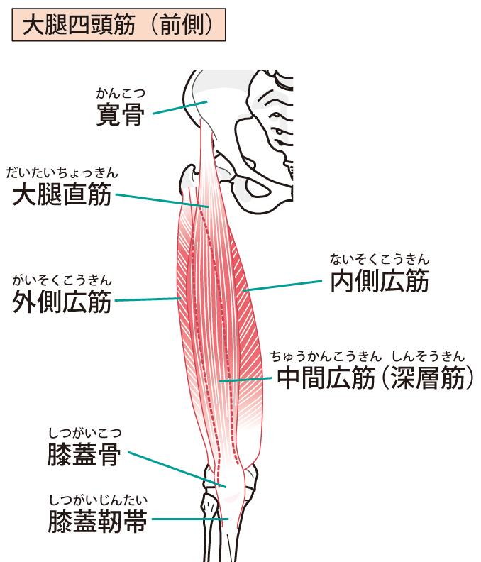 大腿四頭筋を説明の図