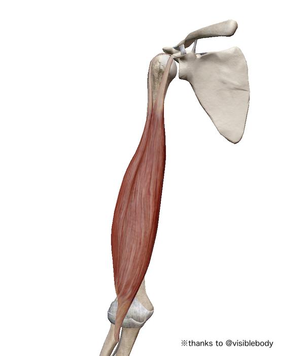 力こぶの筋肉でもある上腕二頭筋