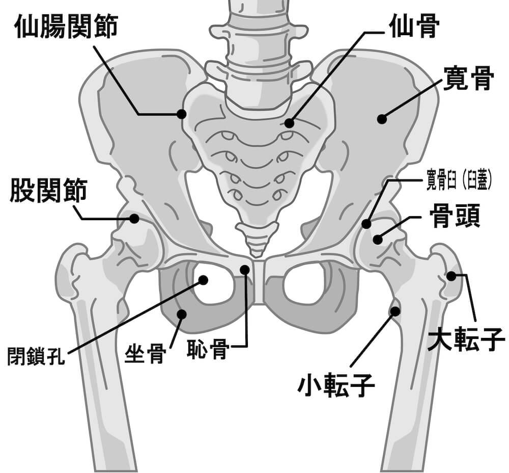股関節の骨格図