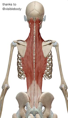 脊柱起立筋群という筋肉