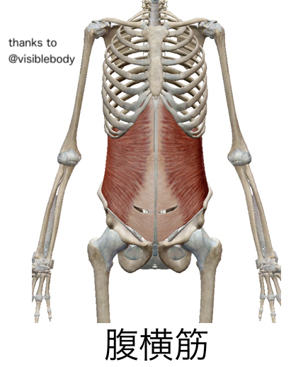お腹の腹横筋という筋肉