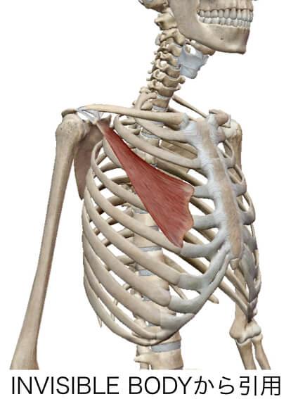 巻き肩の原因でもある小胸筋という筋肉